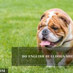 Do English Bulldogs Shed? (Tips To Control Its Shedding)
