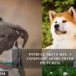 Pitbull Akita Mix: A Complete Guide (With Pictures)