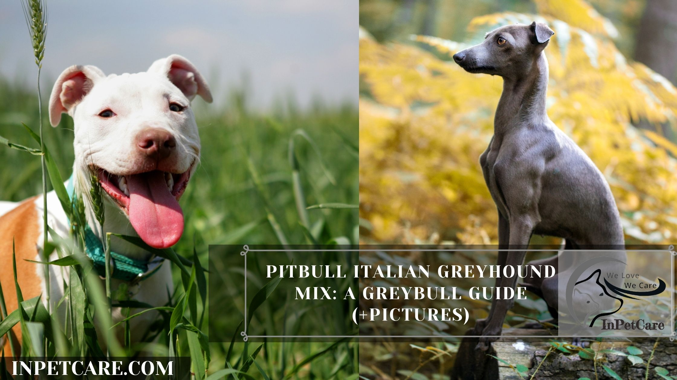 Pitbull Italian Greyhound Mix: A Greybull Guide (+Pictures)