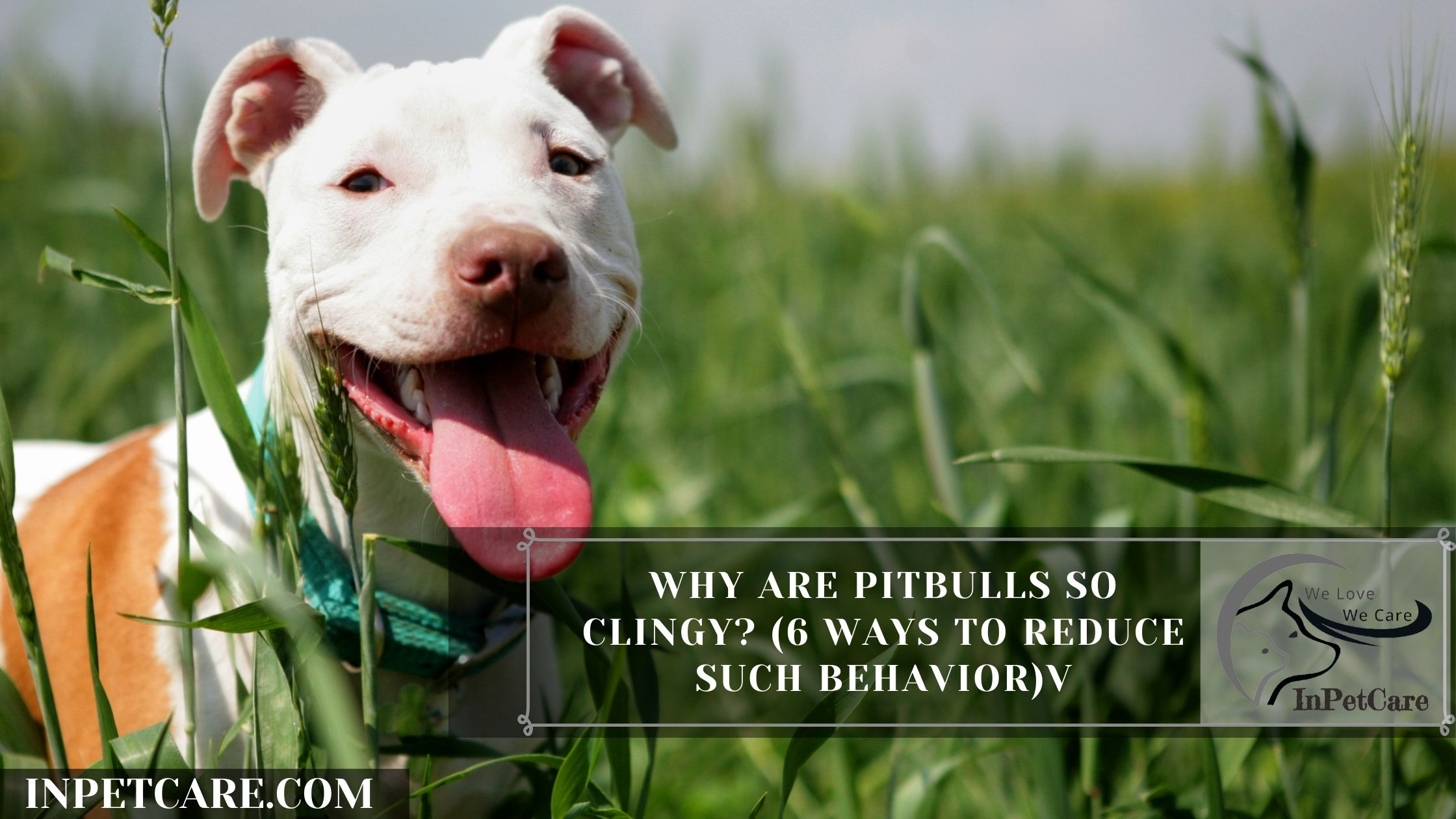 Why Are Pitbulls So Clingy? (6 Ways To Reduce Such Behavior)