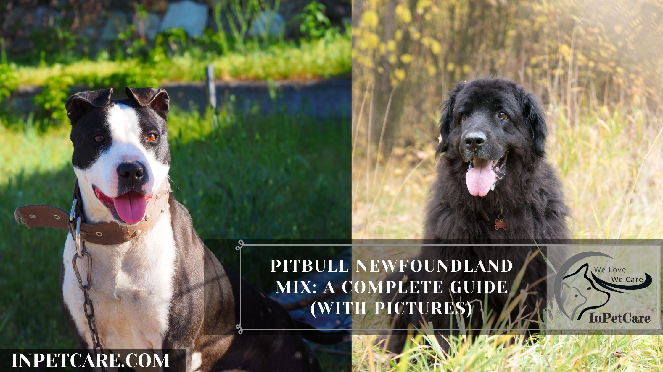 Pitbull Newfoundland Mix: A Complete Guide (With Pictures)