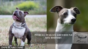 What Is A Pitbull Italian Greyhound Mix?