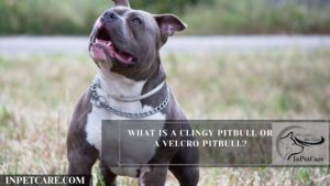 What Is A Clingy Pitbull Or A Velcro Pitbull?