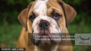 5 Elements That Can Affect English Bulldogs Shedding