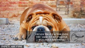 Things That Factor Into The Amount Of English Bulldogs Shedding