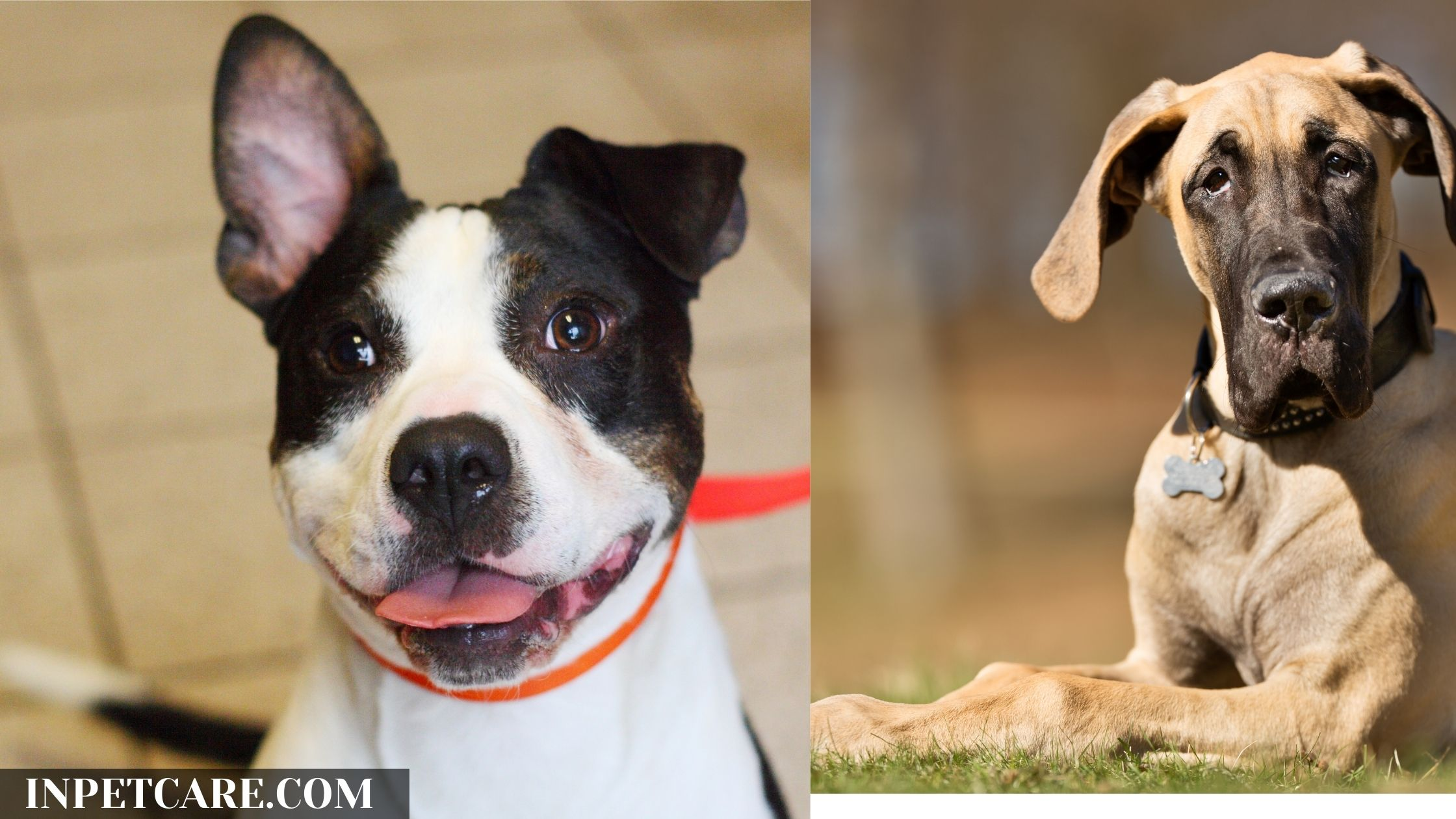 Pitbull Great Dane Mix: A Danebull Guide (With Pictures)