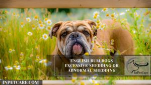 English Bulldogs Excessive Shedding Or Abnormal Shedding