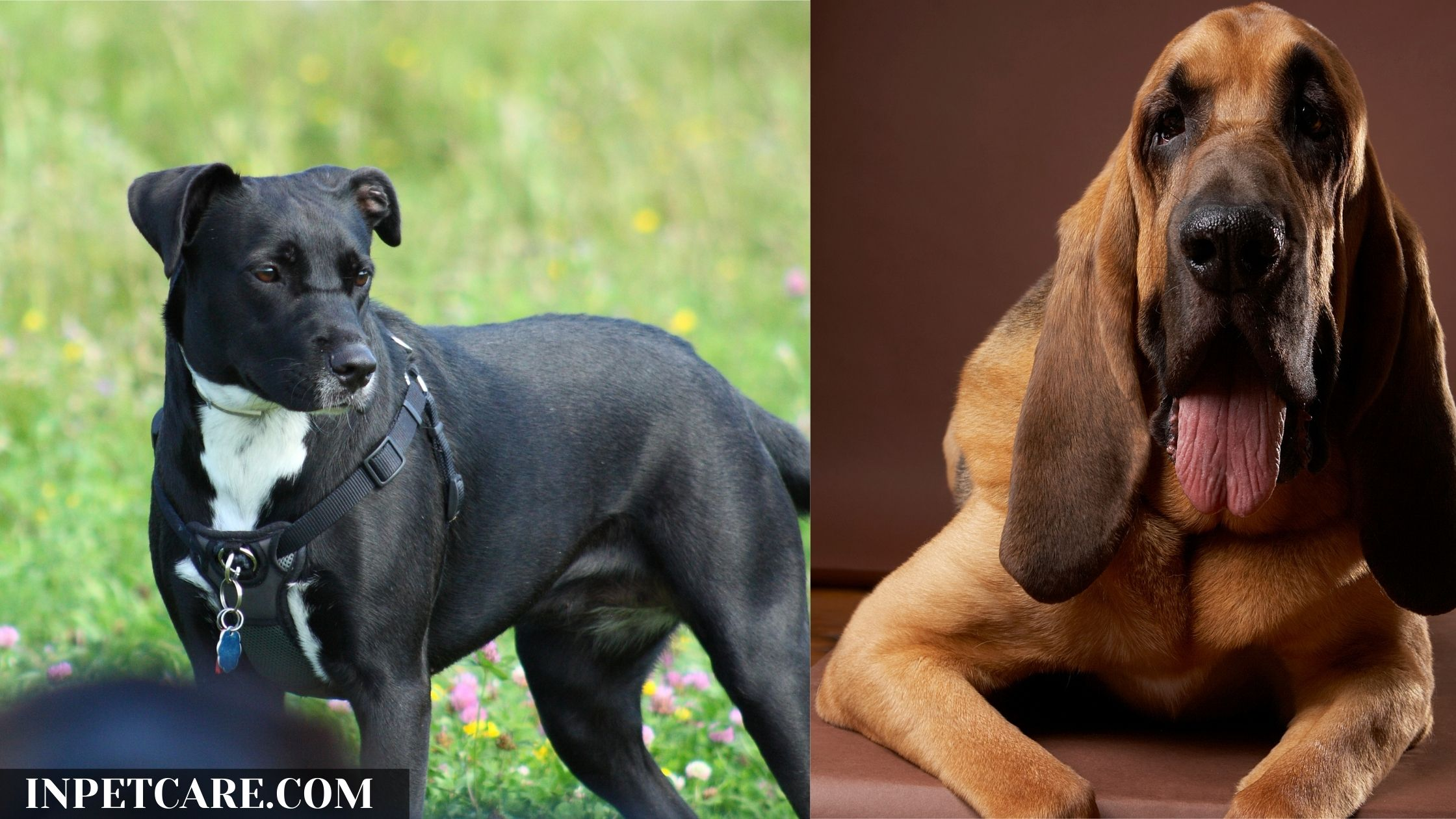 Pitbull Bloodhound Mix: A Complete Guide (With Pictures)