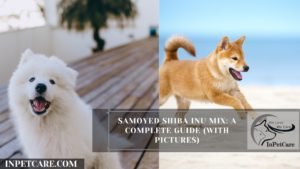 Samoyed Shiba Inu Mix: A Complete Guide (With Pictures)