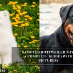 Samoyed Rottweiler Mix: A Complete Guide (With Pictures)