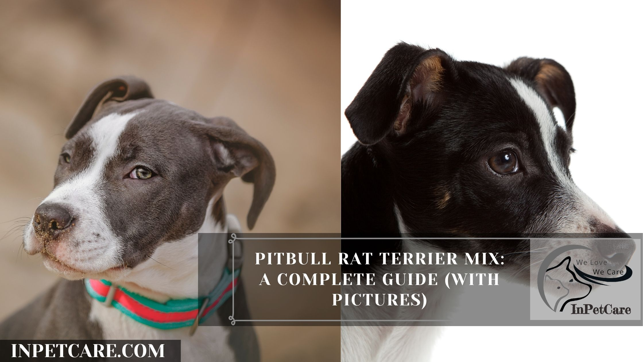 Pitbull Rat Terrier Mix: A Complete Guide (With Pictures)Pitbull Rat Terrier Mix: A Complete Guide (With Pictures)