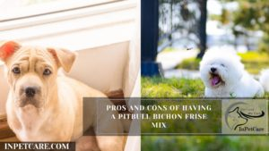 Pros And Cons Of Having A Pitbull Bichon Frise Mix