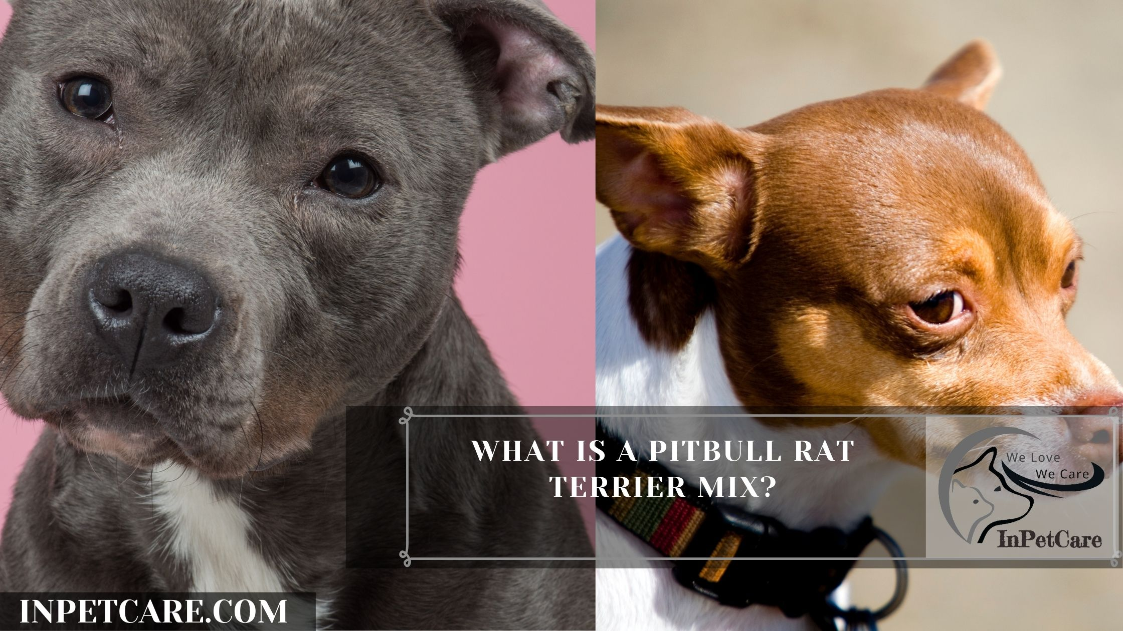 What Is A Pitbull Rat Terrier Mix?