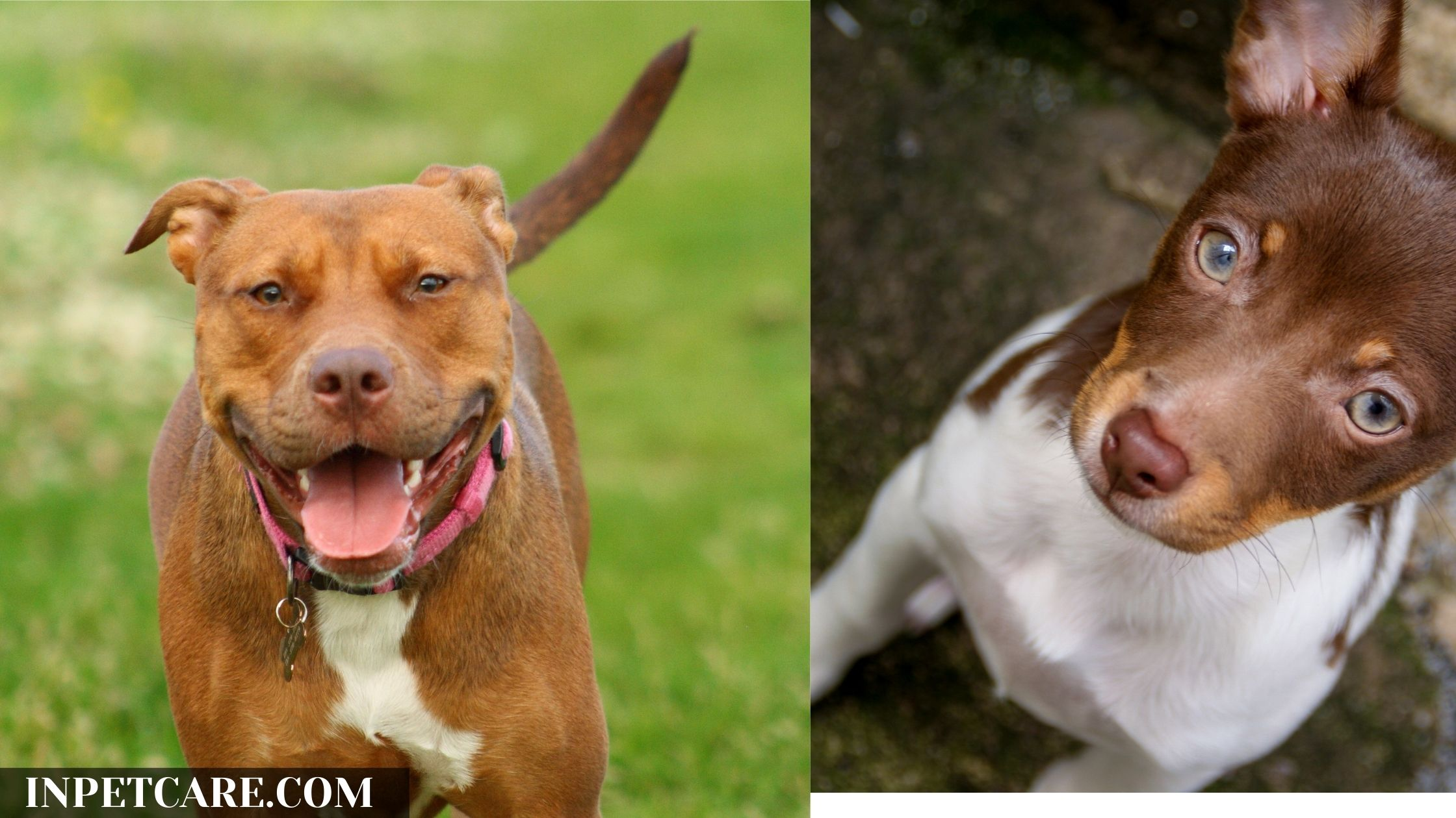 Pitbull Rat Terrier Mix: A Complete Guide (With Pictures)