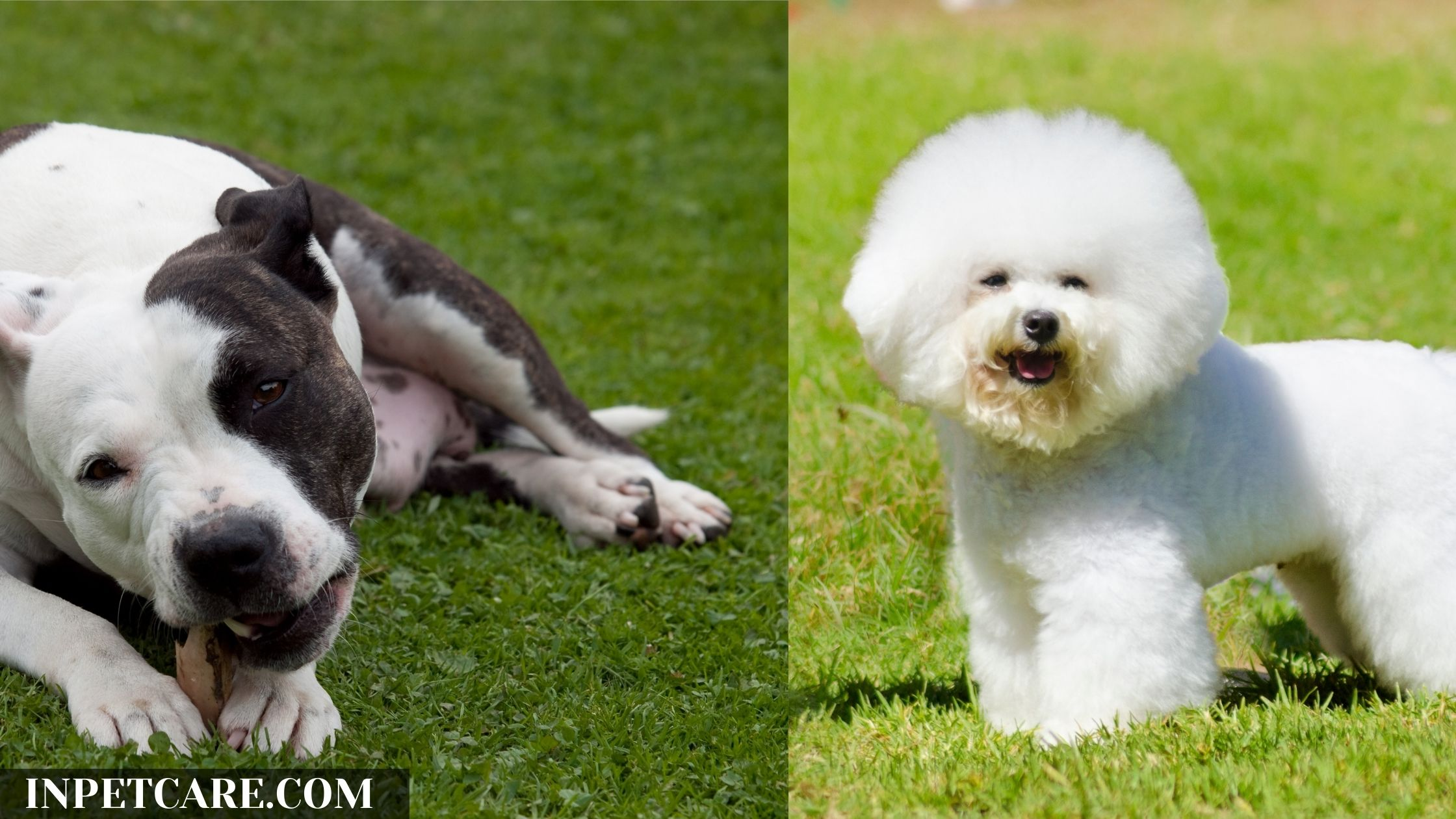 Pitbull Bichon Frise Mix: A Complete Guide (With Pictures)