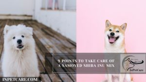 9 Points To Take Care Of A Samoyed Shiba Inu Mix