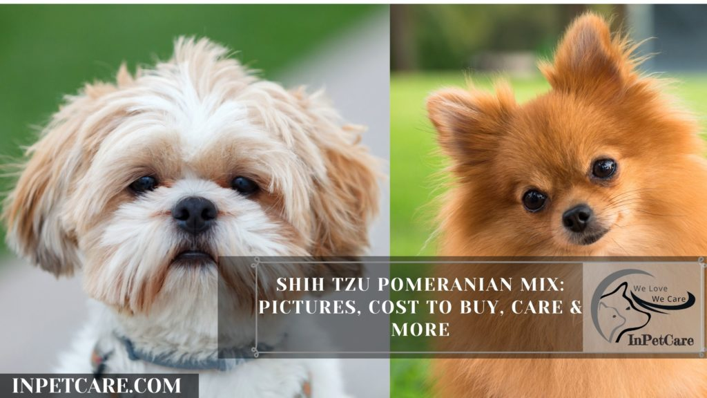 Shih Tzu Pomeranian Mix: Pictures, Cost To Buy, Care & More