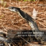 Are Eastern Hognose Snakes Poisonous?