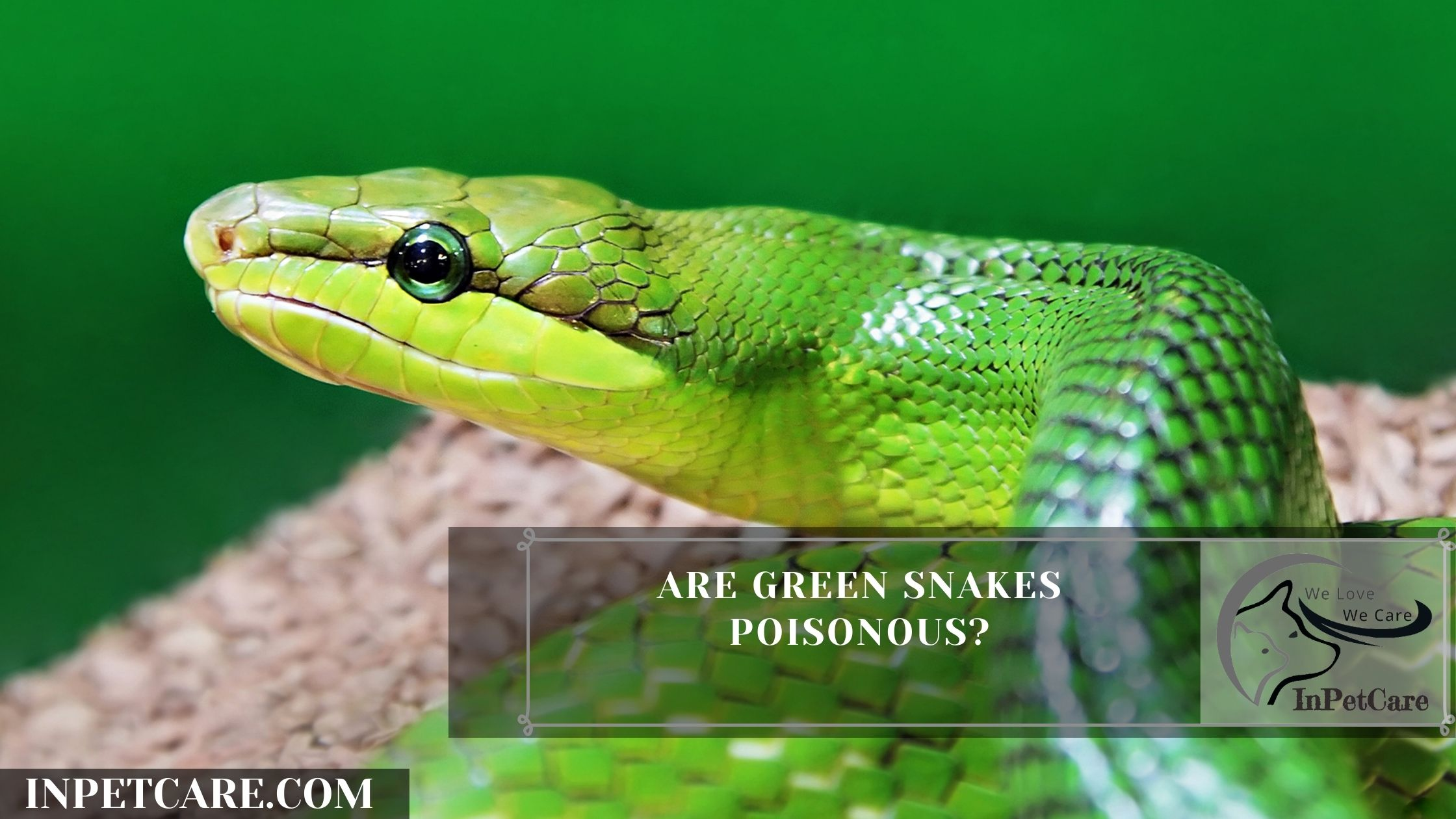 Are Green Snakes Poisonous?