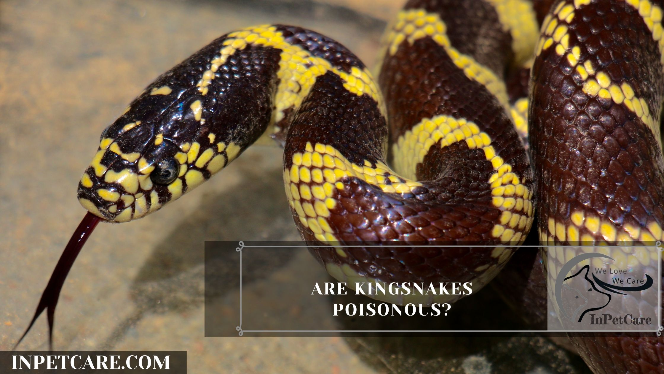 Are Kingsnakes Poisonous?