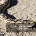 Are Gopher Snakes Poisonous? Tips To Treat Its Bite