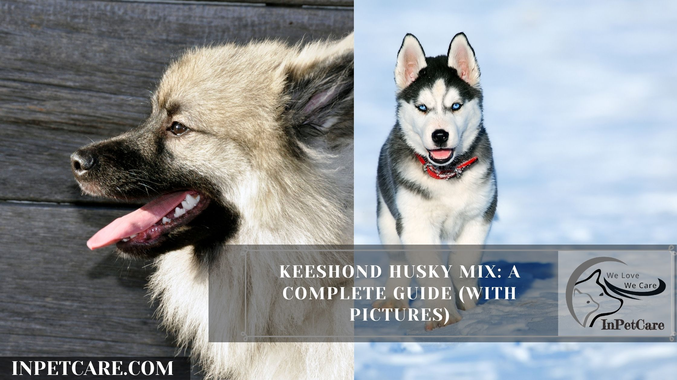 Keeshond Husky Mix: A Complete Guide (With Pictures)