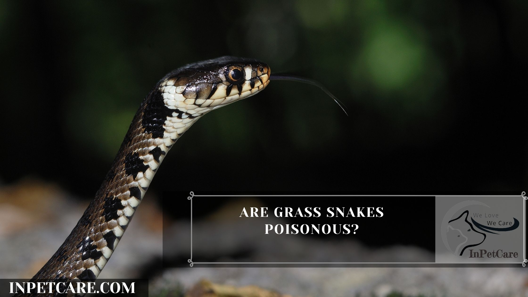 Are Grass Snakes Poisonous?