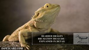 Bearded Dragon Brumation - A Complete Guide (With Photos)