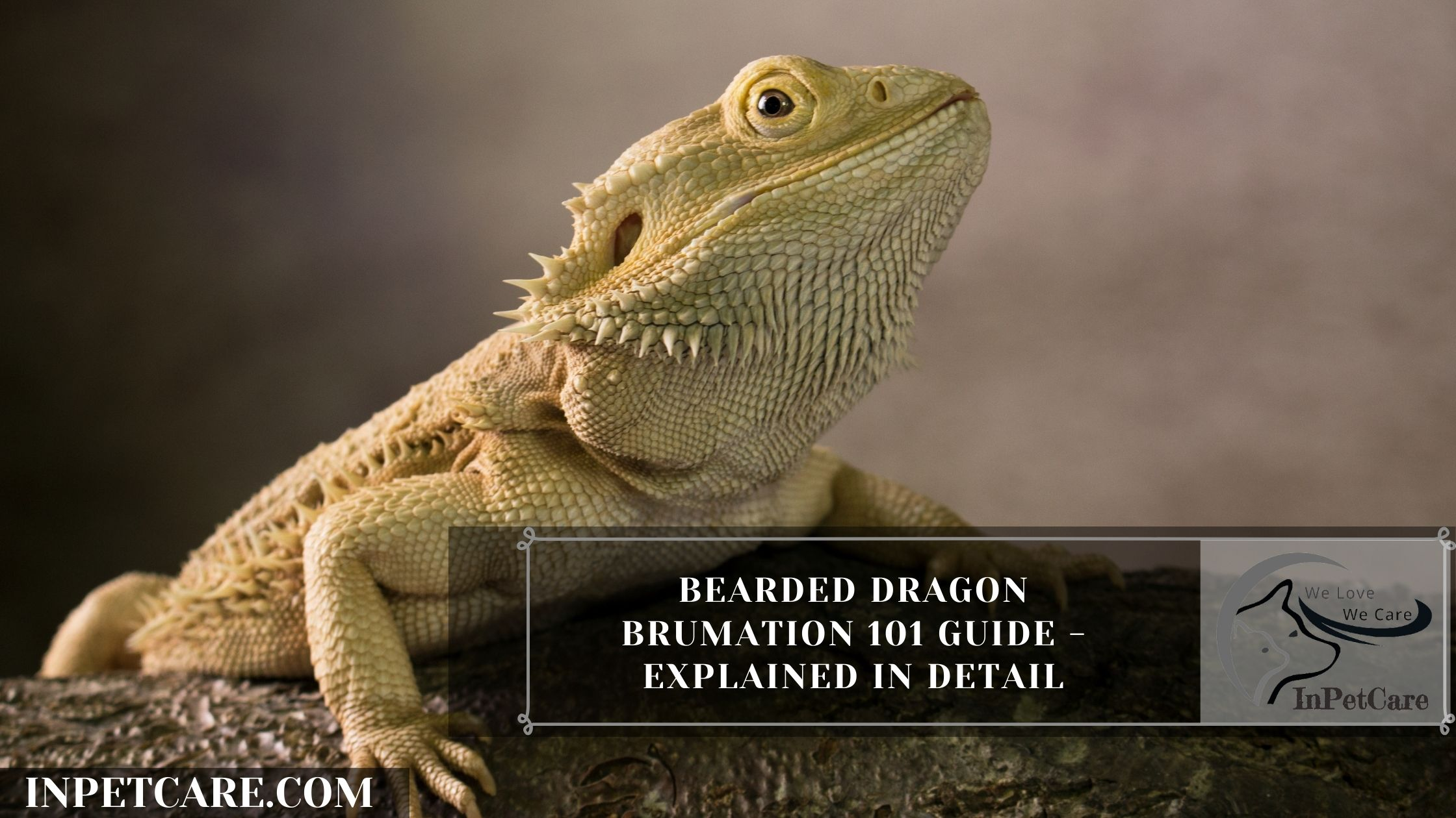 Bearded Dragon Brumation – A Complete Guide (With Photos)