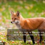 Fox As A Pet: 11 Things You Must Know (with Pictures)
