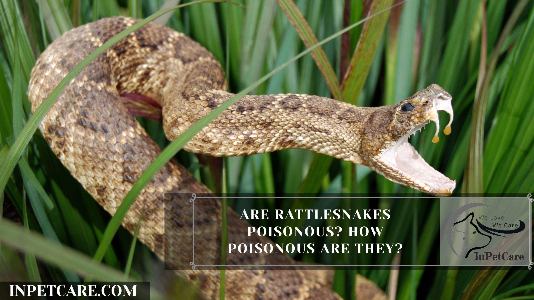 Are Rattlesnakes Poisonous? How Poisonous Are They?