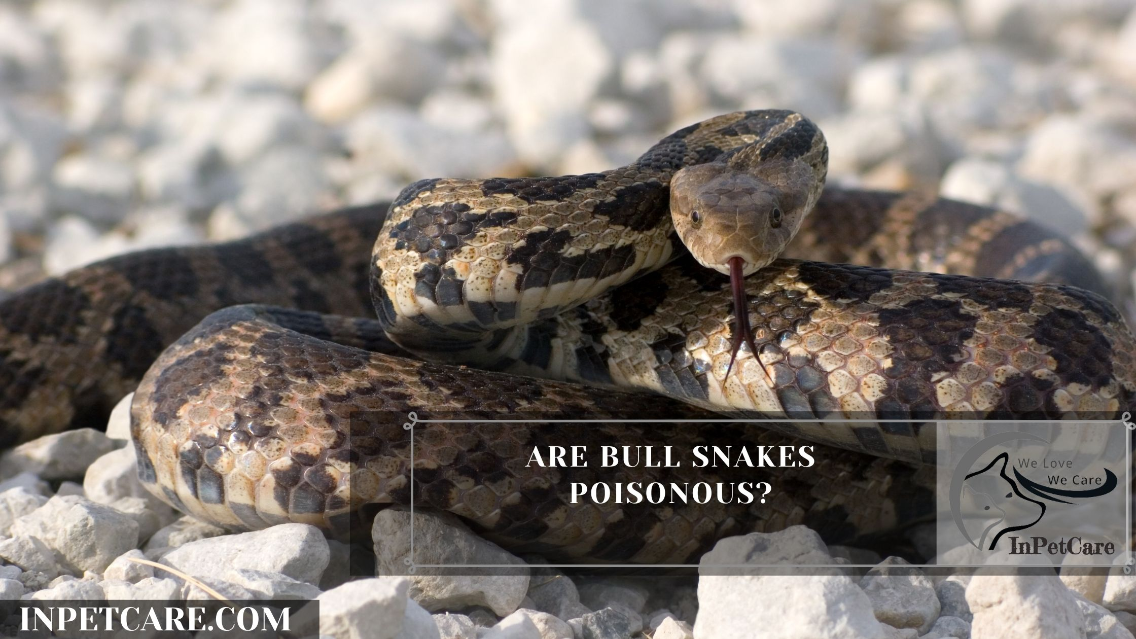 Are Bull Snakes Poisonous?