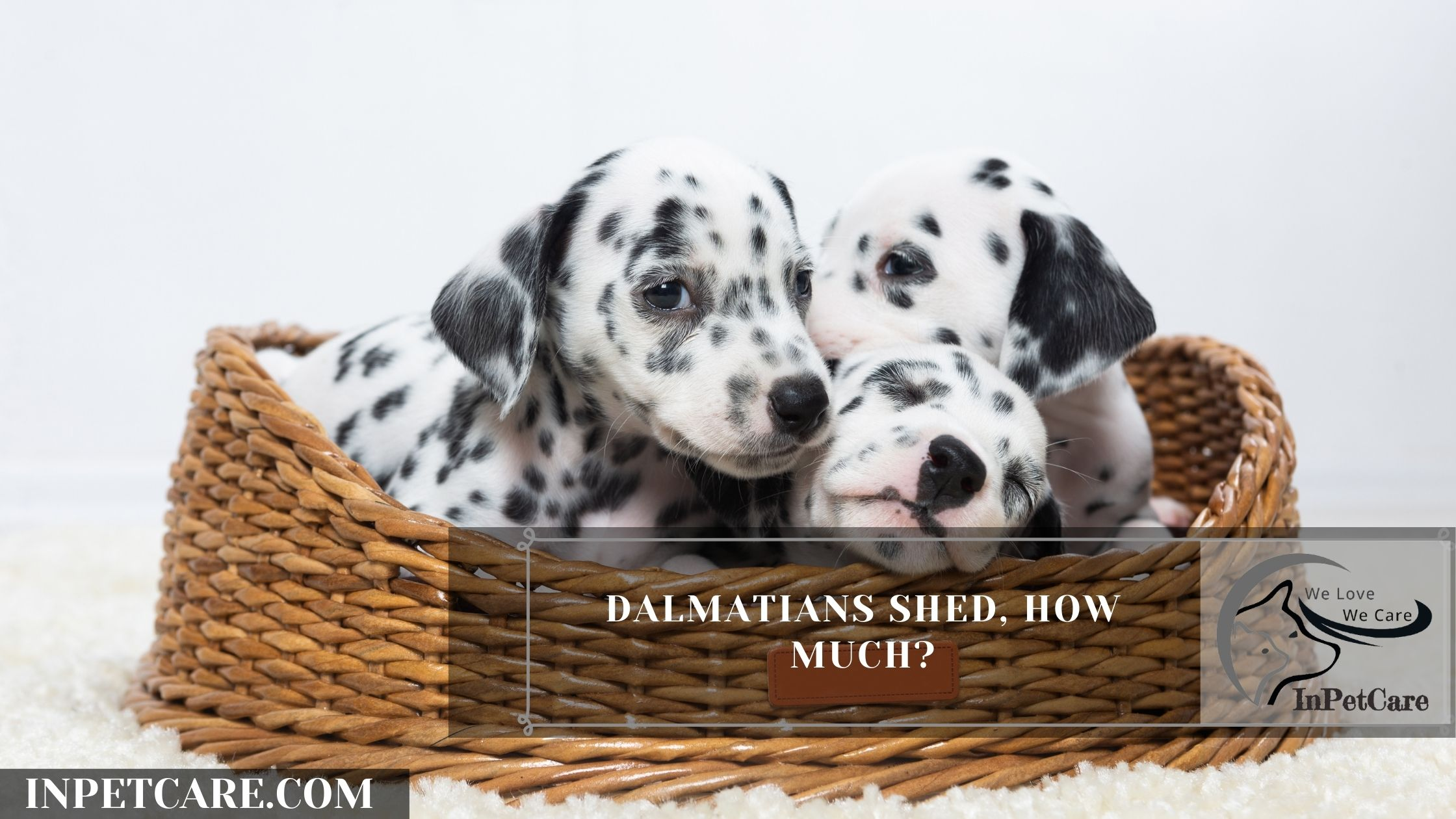 Dalmatians shed, how much?