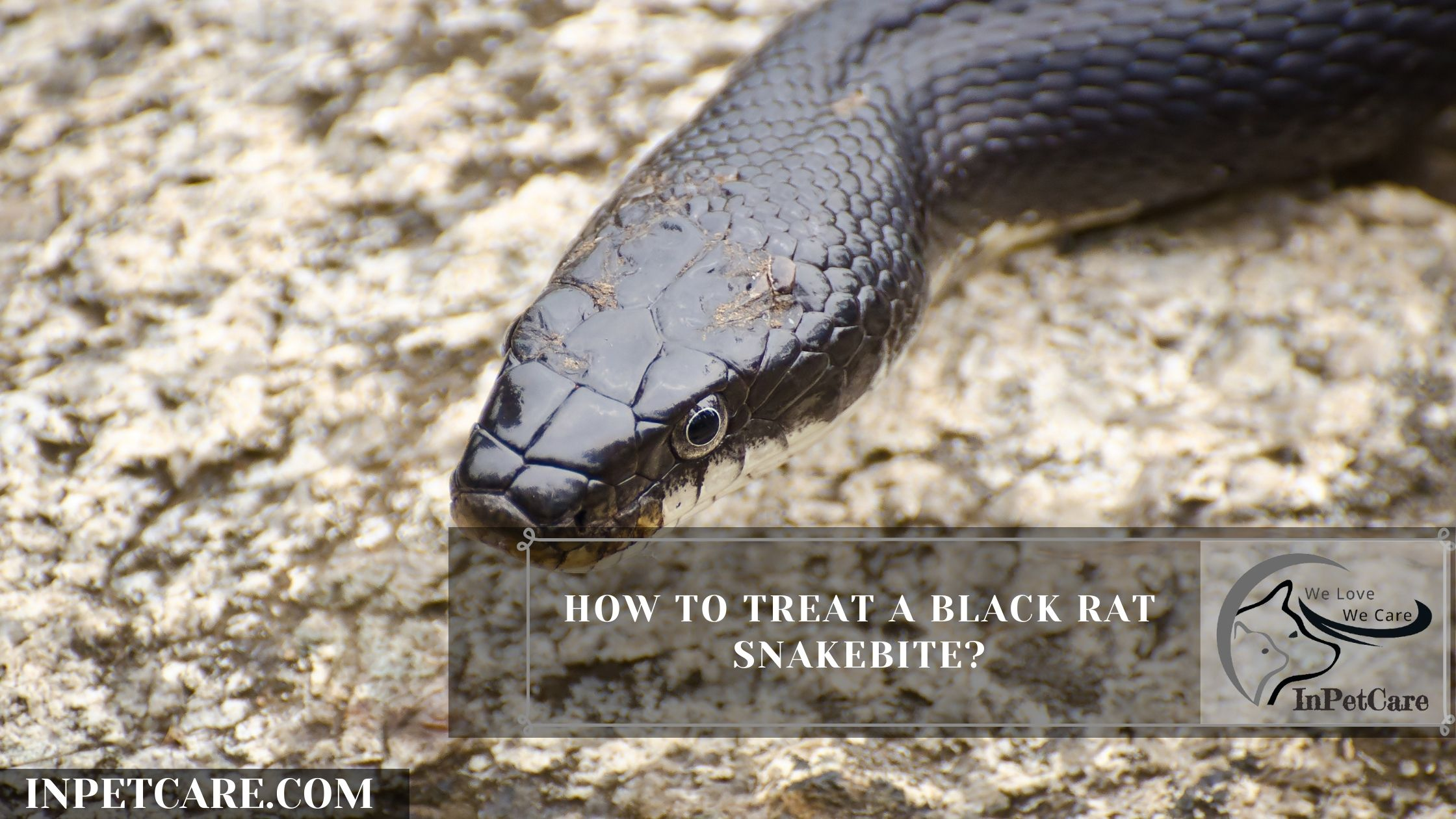 How To Treat A Black Rat Snakebite?