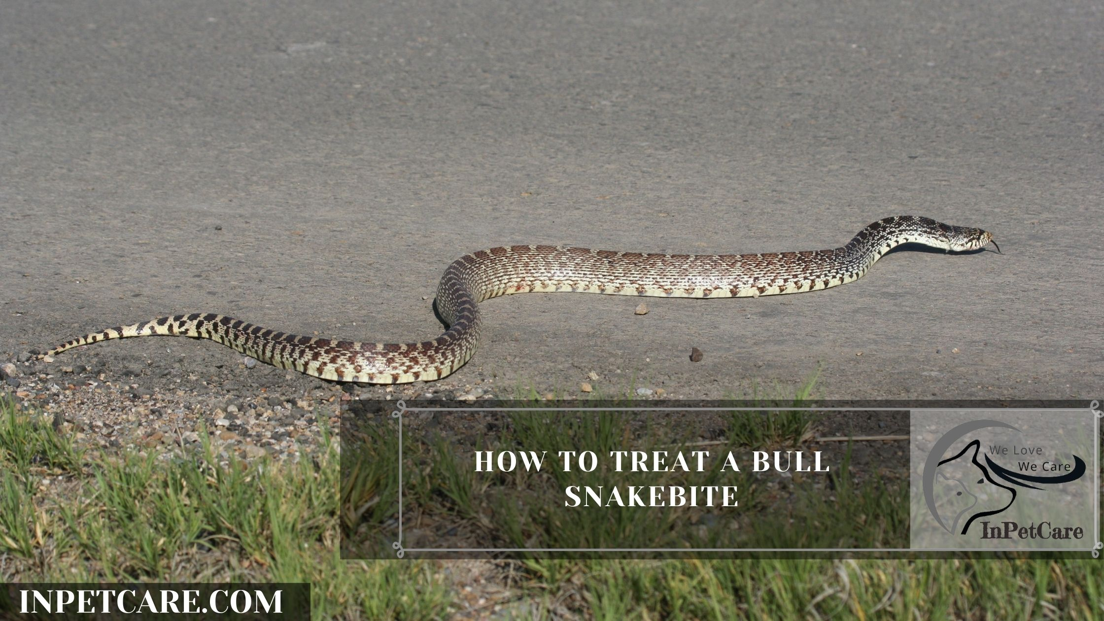 How To Treat a Bull Snakebite