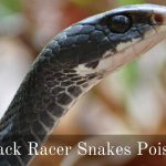 Are Black Racer Snakes Poisonous?