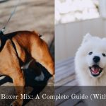 Samoyed Boxer Mix: A Complete Guide (With Pictures)