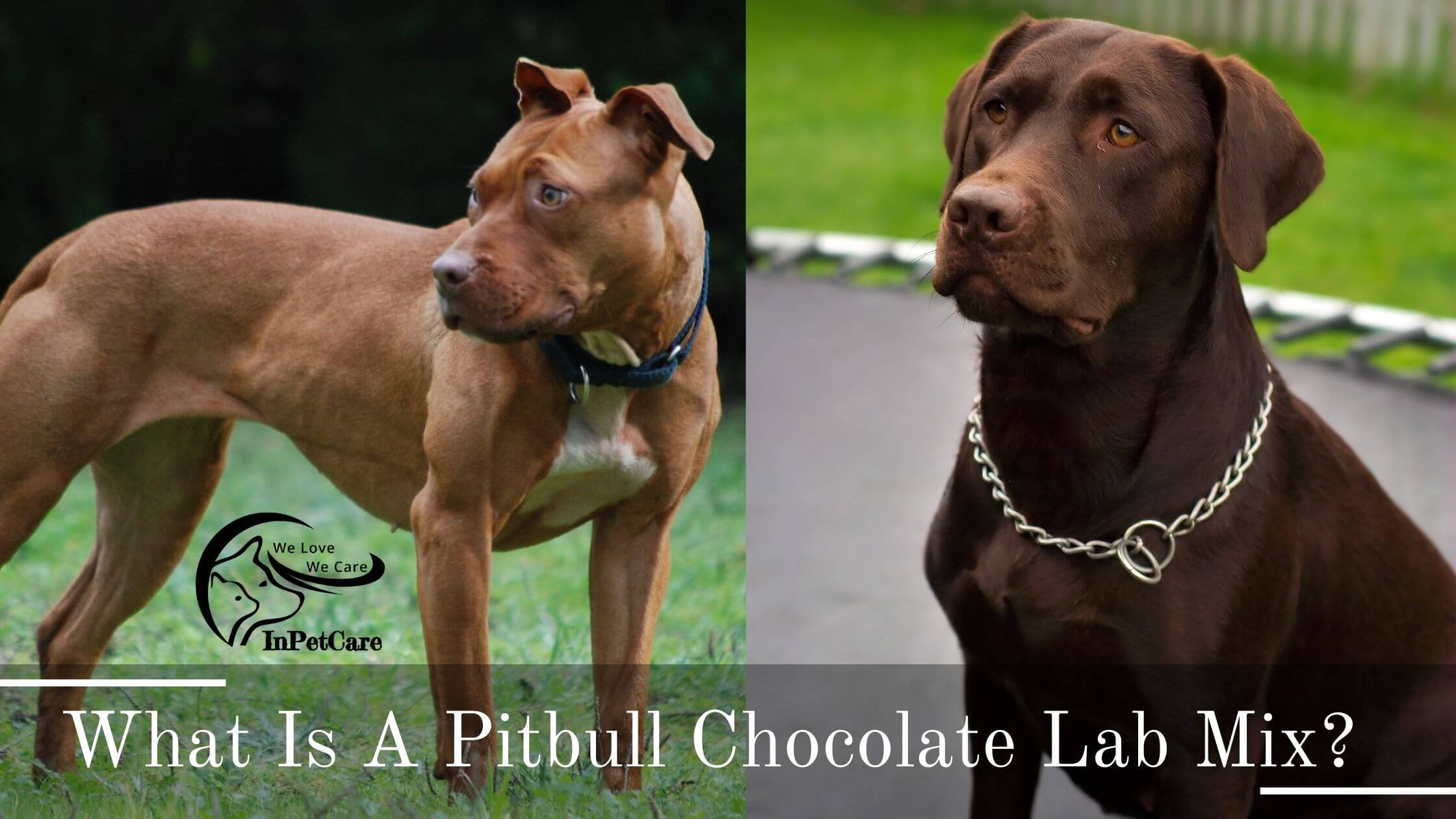 Pitbull Chocolate Lab Mix: All You Need To Know (+Photos)