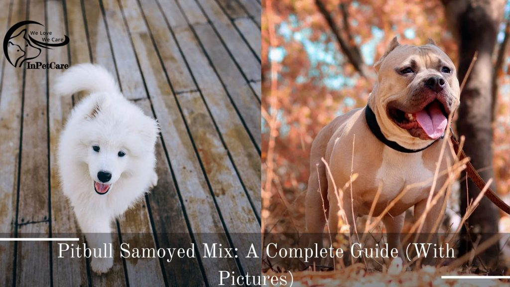 Pitbull Samoyed Mix: A Complete Guide (With Pictures)
