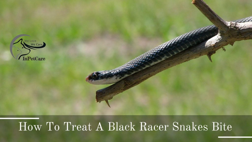 Are Black Racer Snakes Poisonous, is a Black Racer Snake Poisonous, Are Black Racer Snakes venomous, is a Black Racer Snake venomous