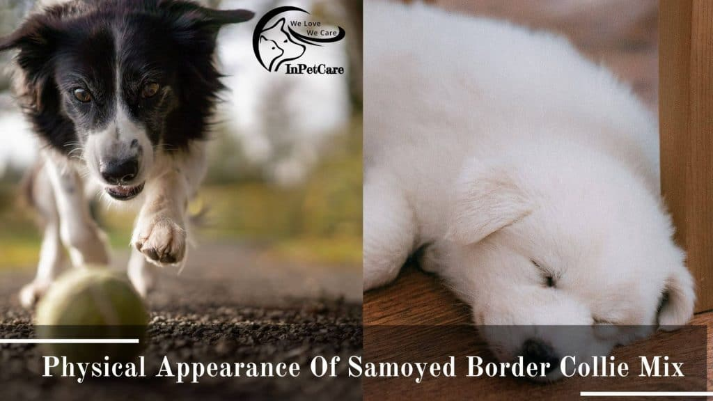 Samoyed Border Collie Mix: A Complete Guide (With Pictures)