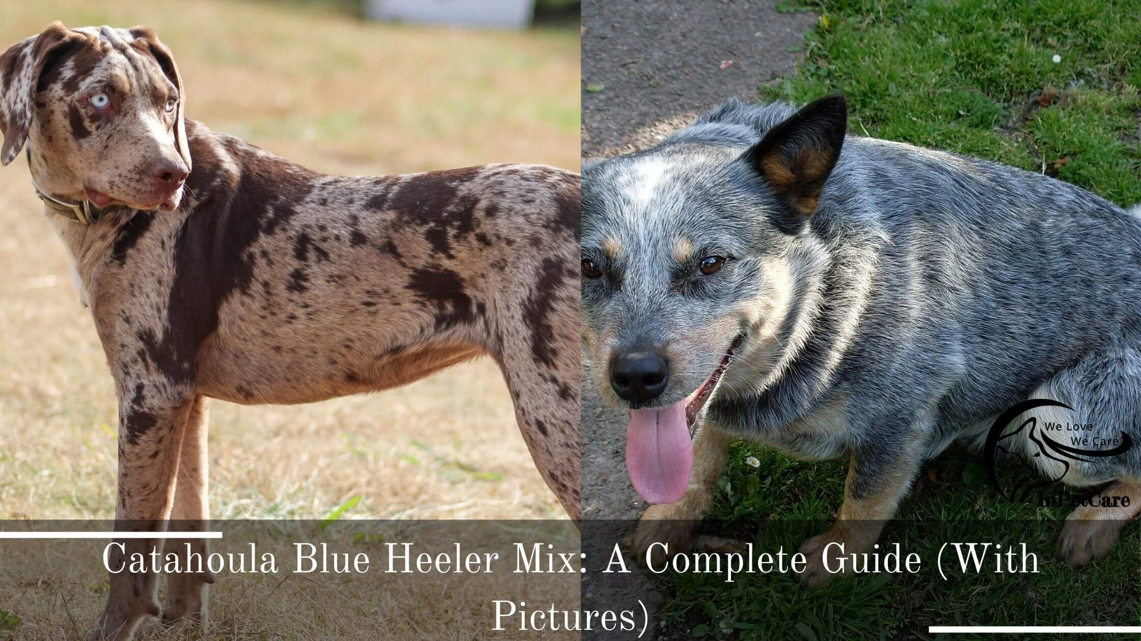 Catahoula Blue Heeler Mix: A Complete Guide (With Pictures)