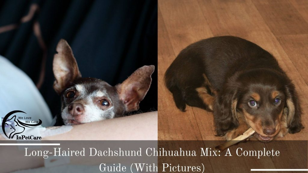 Long-Haired Dachshund Chihuahua Mix Picture Chihuahua Long-Haired Dachshund Mix Picture
