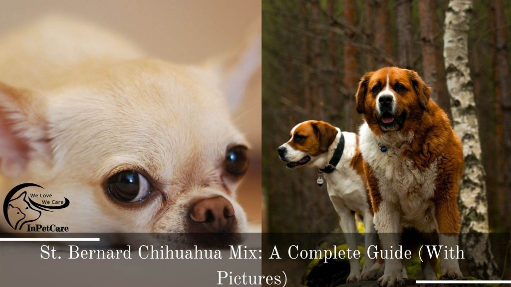 St. Bernard Chihuahua Mix: A Complete Guide (With Pictures)