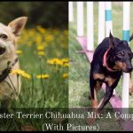 Chihuahua Manchester Terrier Mix: A Complete Guide (With Pictures)