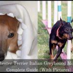 Manchester Terrier Italian Greyhound Mix: A Complete Guide (With Pictures)