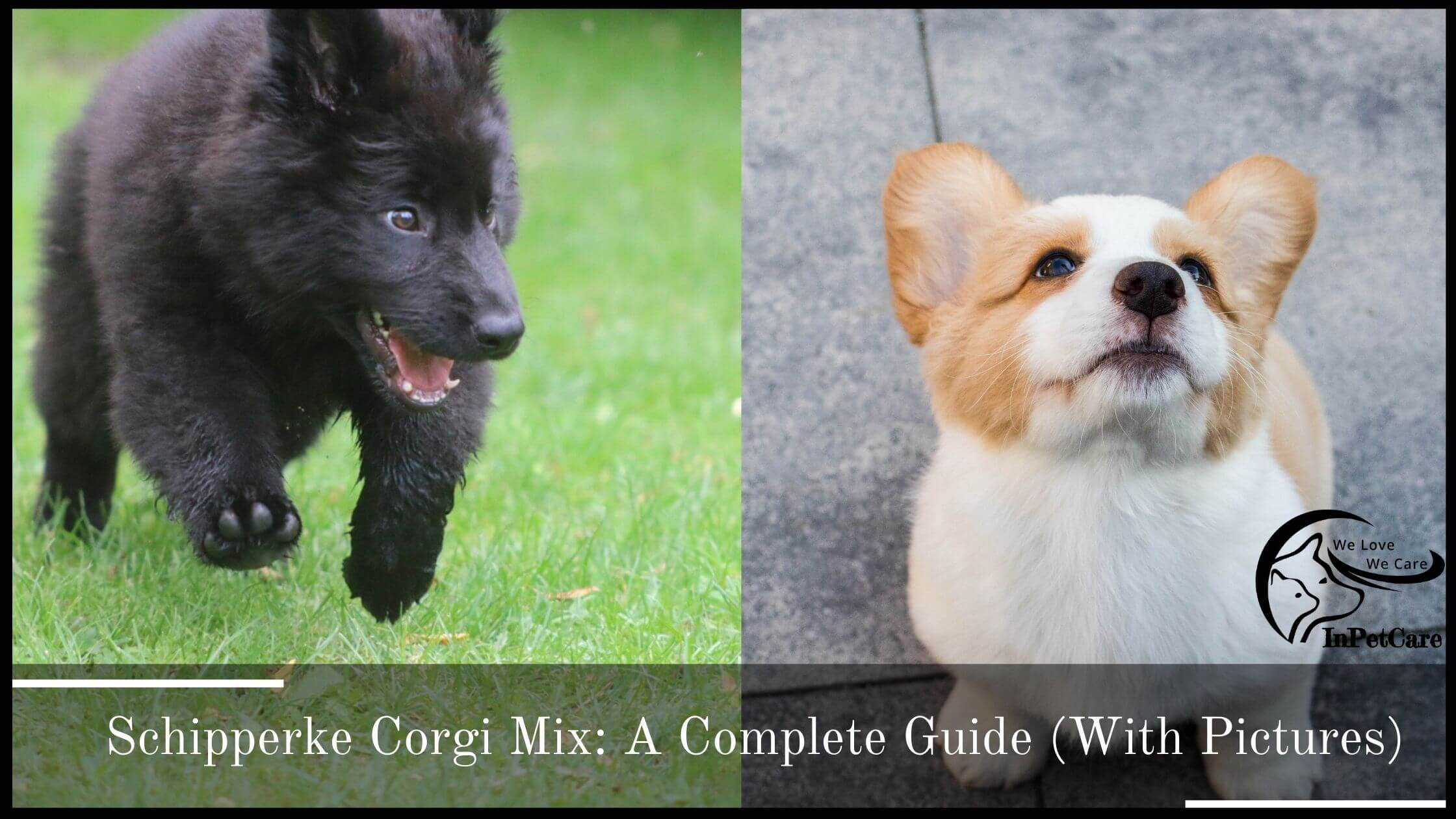 Schipperke Corgi Mix: A Complete Guide (With Pictures)