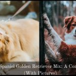 Brittany Spaniel Golden Retriever Mix: A Complete Guide (With Pictures)