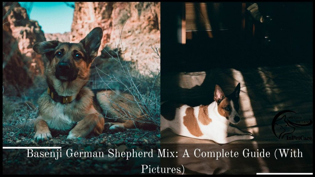 Basenji German Shepherd Mix: A Complete Guide (With Pictures)