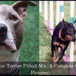 Manchester Terrier Pitbull Mix: A Complete Guide (With Picture)